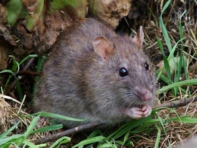 Potkan, zdroj: wikipedia.org