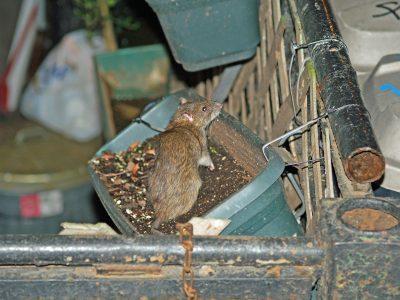 Potkani vyhledávají lidská obydlí díky dostatku potravy, zdroj: wikipedia.org